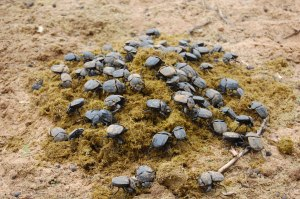 Namibia-dung-beetle-feast