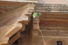 Parrot spotting. Varanasi