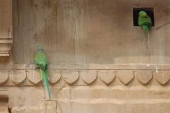 Parrot family guarding. Varanasi