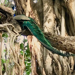 Peacock screeching for approaching tiger, Ranthambore