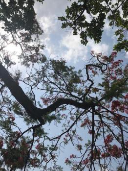 The Gulmohar huge tree