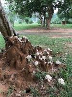 Monsoon Mushrooms, some edible!